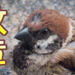 額に紋章があるスズメ ロトくん Cute unique sparrow. 野鳥観察 雀 かわいい ユニークなすずめ