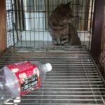 猫 ショート 鳴いているロトさん
