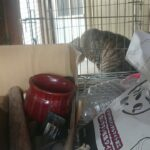 猫 ショート 一生懸命訴えるロトさん